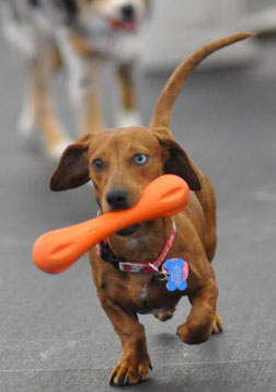 dachshund playing with dog toy